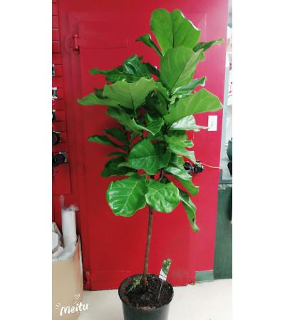 "14""Ficus tree"