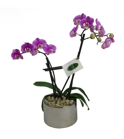 Double Spike Purple Orchid