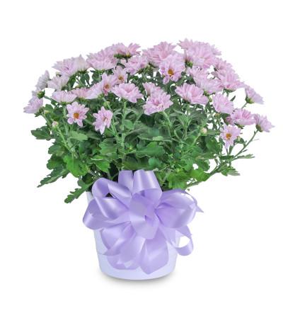 Lavender Chrysanthemum in Ceramic Container