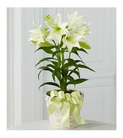 Classic Easter Lilies