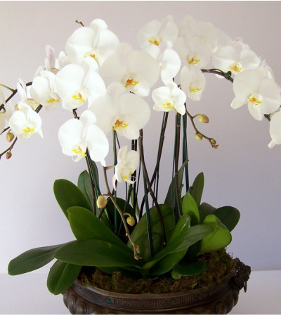 ORCHID PLANT IN SPECIAL CONTAINER