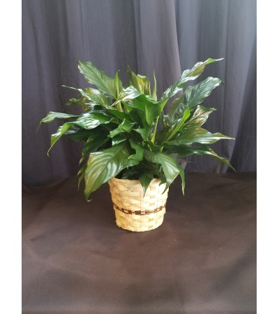 6 Inch Potted Peace Lily