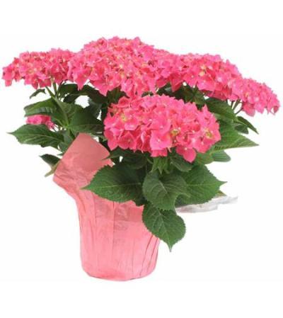 Coloured Hydrangea Plant