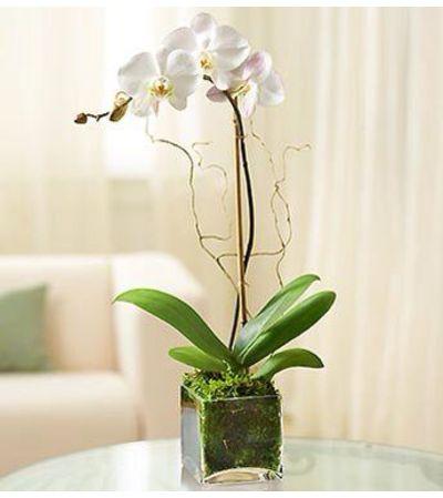 Ellington's Modern Orchid