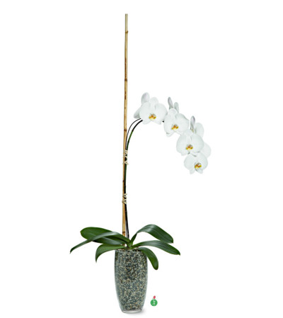 Single Stemmed Phalaenopsis Orchid