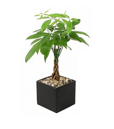 Petite Pachira (Money) Tree
