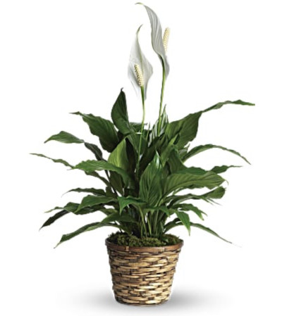 SMALL ELEGANT PEACE LILY