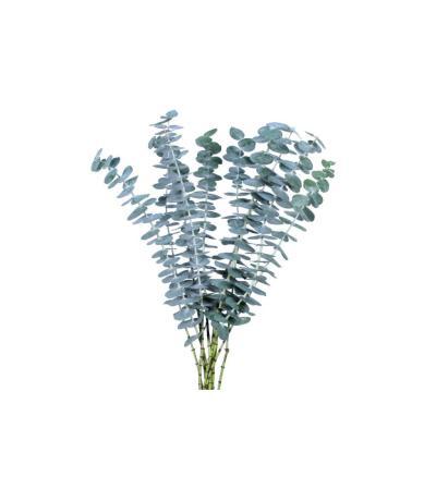 Baby Blue Eucalyptus