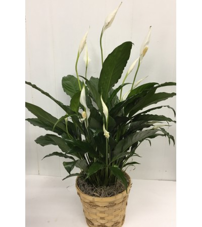 "6"" Peace Lily"