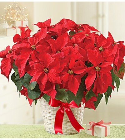 "10"" Poinsettia in a Basket"