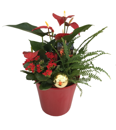 Christmas Anthurium Cheer