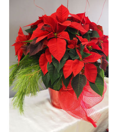 Classic Red Poinsettia 8""