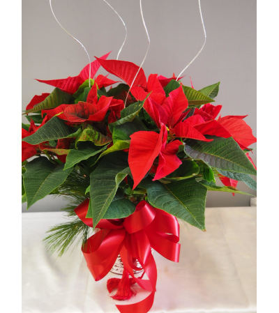 Classic Red Pointsettia 6""