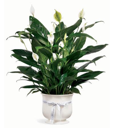 Peace Lily in a Ceramic Planter