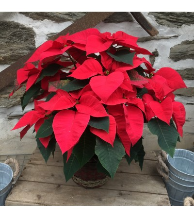 Red Poinsettia in Holiday Basket