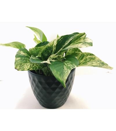 Perky Pothos in Ceramic
