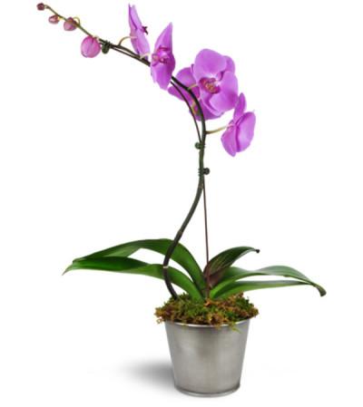 Dreamy Phalaenopsis Orchid