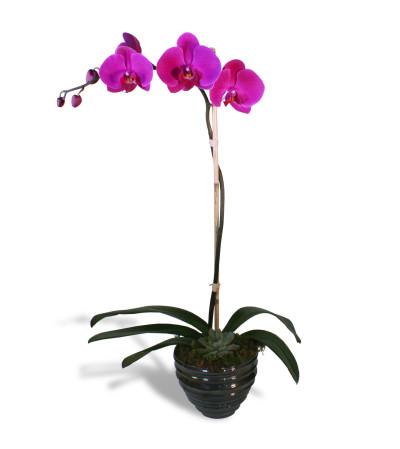 Simple Purple Orchid 2019