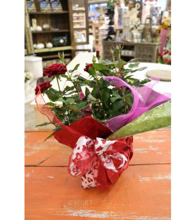 Miniture Rose Houseplant