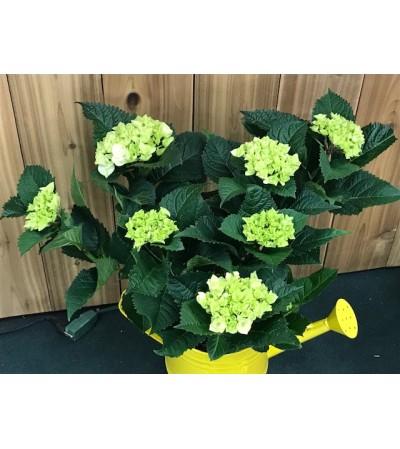 Spring Hydrangea 19G