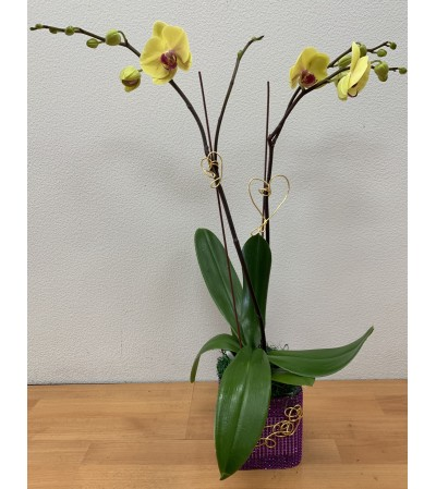 Double Spikes Vibrant Yellow Phalaenopsis Plant