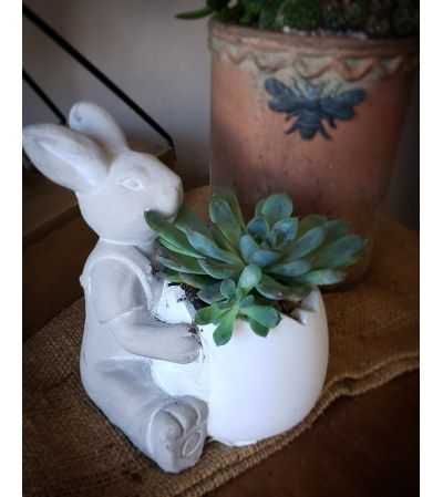 Some bunny succulent