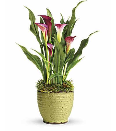 Cala Lily Plant