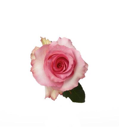 100 Premium Long Pink Roses