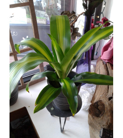 Dracaena Plant 4 Inch