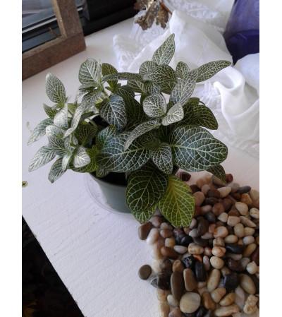 White Fittonia Plant