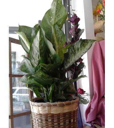 Dieffenbachia Plant 8 Inch