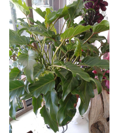 Xanadu Philadendron Plant