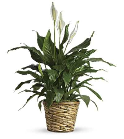 Simple Elegant Peace Lily