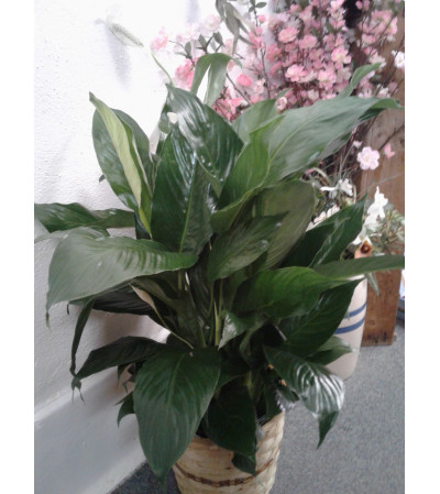 "8"" Peace Lily"