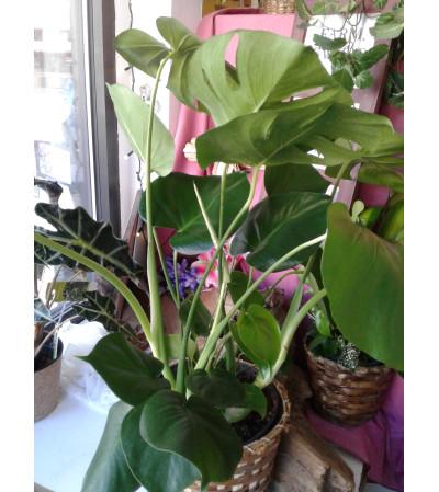 """Split Leaf 8"""" Philadendron"""