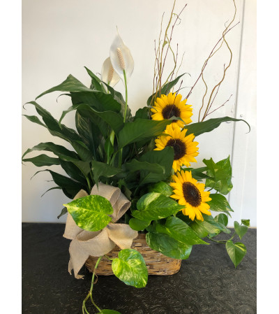 Plants and Sunflowers