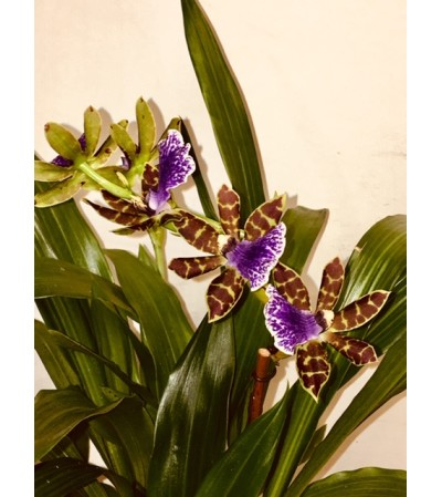 Orchid Especially