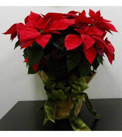 "10"" Poinsettia in Kraft Paper"