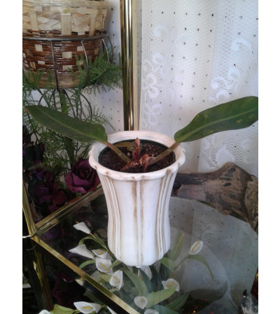 4 Inch Philadendron