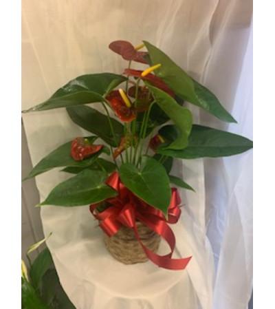 Tropical Anthurium