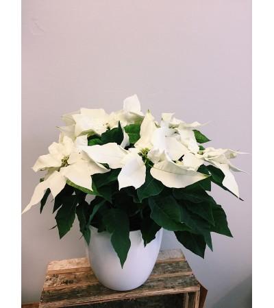 Wistful White Poinsettia