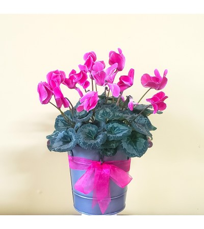 "6"" Colorful Cyclamen Plant"