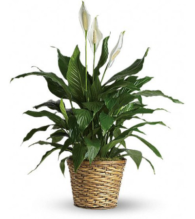 peaceful spathiphyllum