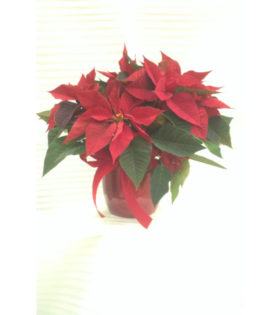 Festive Christmas Red Poinsettia