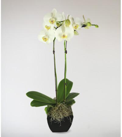 Stargazer's Decorative Orchid
