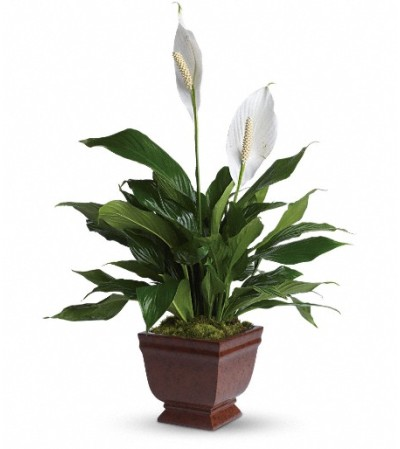 Teleflora's Lovely One Spathiphyllum Plant