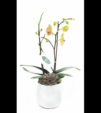 Mini Yellow Orchid