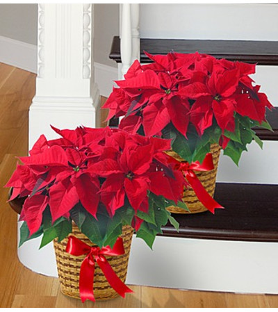 Poinsettia Package
