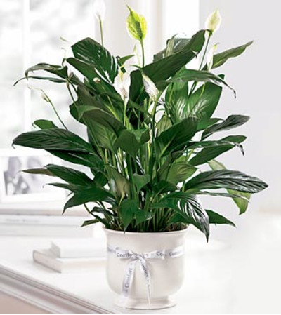 Comforting Peace Lily