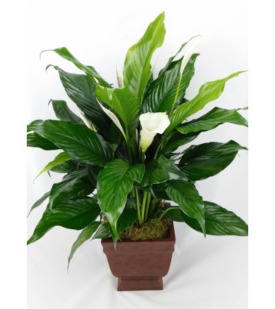 Plantastic! Peace Lily